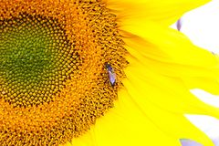 Ένας μεγάλος ηλίανθος με τα όμορφα κίτρινα πέταλα Στην καρδιά του λουλουδιού είναι μια μέλισσα Στοκ φωτογραφία με δικαίωμα ελεύθερης χρήσης