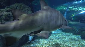 Ένας μεγάλος καρχαρίας κολυμπά κατά μήκος του υποβρύχιου απότομου βράχου Επικεφαλής κινηματογράφηση σε πρώτο πλάνο καρχαριών φιλμ μικρού μήκους