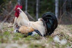 Ένας μεγάλος κόκκορας με ένα μεγάλο cockscomb που βρίσκεται στα gras Στοκ Φωτογραφία