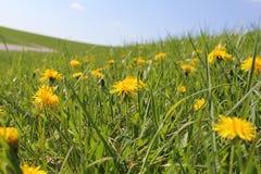 Ένας μεγάλος τομέας με τις όμορφες ανθίζοντας κίτρινες πικραλίδες Στοκ φωτογραφίες με δικαίωμα ελεύθερης χρήσης
