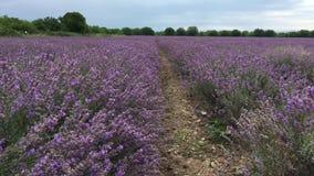 Ένας μεγάλος τομέας lavender απόθεμα βίντεο