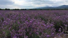 Ένας μεγάλος τομέας lavender φιλμ μικρού μήκους