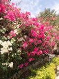 Ένας μεγάλος όμορφος πολύβλαστος θάμνος, ένα εξωτικό τροπικό φυτό με τα άσπρα και πορφυρά, ρόδινα λουλούδια με τα λεπτά πέταλα κα στοκ φωτογραφίες