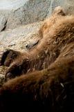 Ένας μεγάλος ύπνος σταχτύς αντέχει Στοκ εικόνες με δικαίωμα ελεύθερης χρήσης