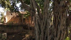 Ένας μεγάλος banyan κορμός δέντρων με ένα παλαιό κτήριο στοκ εικόνες με δικαίωμα ελεύθερης χρήσης