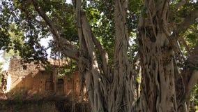 Ένας μεγάλος banyan κορμός δέντρων με ένα παλαιό κτήριο στοκ εικόνα με δικαίωμα ελεύθερης χρήσης