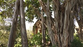 Ένας μεγάλος banyan κορμός δέντρων με ένα παλαιό κτήριο στοκ φωτογραφίες με δικαίωμα ελεύθερης χρήσης