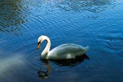 Ένας μεγάλος άσπρος κύκνος Στοκ Φωτογραφίες