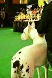 Ένας μεγάλος Δανός στο σκυλί παρουσιάζει στοκ φωτογραφία