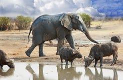 Ένας μεγάλος ελέφαντας ταύρων περπατά πίσω από δύο βούβαλους ακρωτηρίων σε ένα waterhole στο εθνικό πάρκο Hwange, Ζιμπάμπουε Στοκ Εικόνα