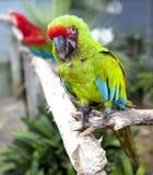 Ένας μεγάλος παπαγάλος είναι ένα πράσινο macaw Στοκ φωτογραφίες με δικαίωμα ελεύθερης χρήσης