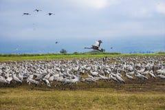 Ένας μεγάλος πληθυσμός των άσπρων γερανών στοκ φωτογραφία με δικαίωμα ελεύθερης χρήσης