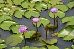 Ένας με το Lotus Στοκ Φωτογραφία