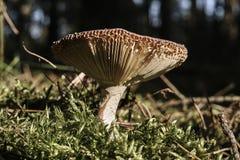 Ένας μη φαγώσιμος μύκητας μανιταριών στοκ εικόνες