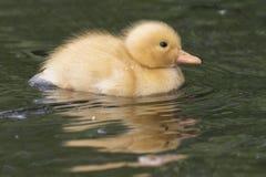 Ένας μικροσκοπικός νεοσσός στο νερό στοκ εικόνα με δικαίωμα ελεύθερης χρήσης