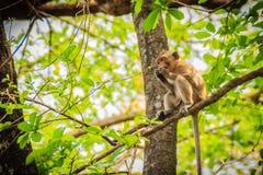 Ένας μικρός καφετής και γούνινος άγριος πίθηκος κάθεται και τρώει τα τρόφιμα στο δέντρο στο τροπικό δάσος φύσης στοκ φωτογραφία