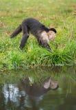 Ένας μικρός πίθηκος στον ποταμό Στοκ Εικόνες
