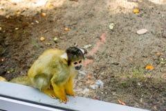 Ένας μικρός πίθηκος του βολιβιανού saimiri Στοκ εικόνες με δικαίωμα ελεύθερης χρήσης