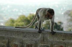 Ένας μικρός πίθηκος Στοκ Εικόνες