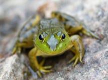 Ένας μικρός πράσινος βάτραχος κάθεται σε έναν μεγάλο βράχο από μια λίμνη στο σούρουπο στοκ εικόνες
