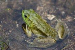 Ένας μικρός πράσινος βάτραχος κάθεται σε μια λίμνη στο σούρουπο στοκ φωτογραφία