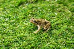 Ένας μικρός πράσινος βάτραχος Στοκ φωτογραφία με δικαίωμα ελεύθερης χρήσης