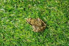 Ένας μικρός πράσινος βάτραχος Στοκ Εικόνες