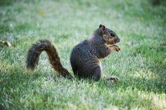 Ένας μικρός σκίουρος Στοκ φωτογραφία με δικαίωμα ελεύθερης χρήσης