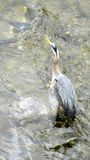 Ένας μπλε ερωδιός που περιμένει στο Shallows τα ψάρια Στοκ Εικόνα