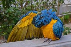 Ένας μπλε-και-κίτρινος macaw καθαρίζοντας τα φτερά της αναπτυσσόμενος τη δεξιά της στοκ φωτογραφίες με δικαίωμα ελεύθερης χρήσης