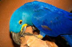 Ένας μπλε παπαγάλος Στοκ Εικόνες