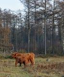 Ένας μόσχος μιας αγελάδας ορεινών περιοχών πίνει με τη μητέρα της Στοκ Φωτογραφία