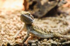 Ένας νέος γενειοφόρος δράκος σε ένα terrarium, που κλίνει ενάντια σε ένα κούτσουρο και που κοιτάζει στη κάμερα στοκ φωτογραφίες