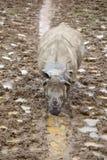Ένας νέος ινδικός ρινόκερος Στοκ φωτογραφία με δικαίωμα ελεύθερης χρήσης