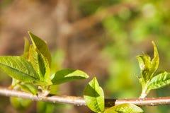 Ένας νέος κλάδος ενός δέντρου κερασιών πουλιών με τα φρέσκα νέα πράσινα φύλλα που άνθισαν με την εμφάνιση της άνοιξη Στοκ Φωτογραφίες
