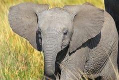 Ένας νέος μόσχος ελεφάντων στη χλόη στο masai mara Στοκ εικόνα με δικαίωμα ελεύθερης χρήσης