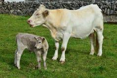 Ένας νέος μόσχος και η μητέρα του στην Ιρλανδία στοκ εικόνες