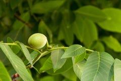 Ένας νέος νεαρός βλαστός φύλλων, μια νέα ζωή για το δέντρο ξύλων καρυδιάς Στοκ εικόνες με δικαίωμα ελεύθερης χρήσης