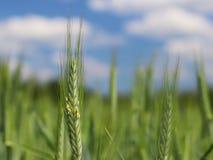 Ένας νέος πράσινος και ανθίζοντας μίσχος του σίτου ωριμάζει σε έναν τομέα σίτου ενάντια σε έναν μπλε ουρανό Θολωμένο φυσικό υπόβα Στοκ Εικόνες