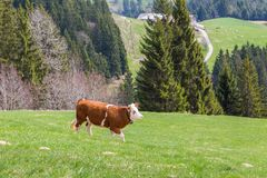 Ένας νέος ταύρος που περπατά στο πράσινο pasturage, δέντρα, δάσος Στοκ Εικόνες