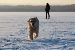Ένας νεαρός άνδρας που εκπαιδεύει χρυσό retriever σκυλιών του Στοκ Φωτογραφία