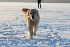 Ένας νεαρός άνδρας που εκπαιδεύει χρυσό retriever σκυλιών του Στοκ εικόνες με δικαίωμα ελεύθερης χρήσης