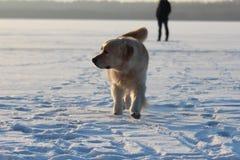 Ένας νεαρός άνδρας που εκπαιδεύει χρυσό retriever σκυλιών του Στοκ Εικόνα