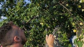 Ένας νεαρός άνδρας σχίζει τα δαμάσκηνα από ένα δέντρο στον κήπο απόθεμα βίντεο
