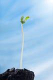 Ένας νεαρός βλαστός της ανάπτυξης ipomea κάτω από τον ήλιο Στοκ Εικόνες