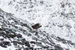 Ένας νότος πολικό Skuar που στέκεται στους βράχους Στοκ Εικόνα