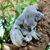 Ένας οκνηρός ύπνος koala σε έναν κλάδο στοκ φωτογραφία με δικαίωμα ελεύθερης χρήσης