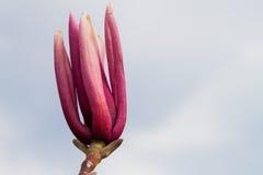 Ένας οφθαλμός του λουλουδιού magnolia Στοκ Εικόνες