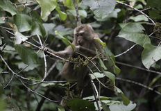Ένας πίθηκος άγριας φύσης Στοκ εικόνα με δικαίωμα ελεύθερης χρήσης