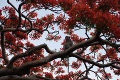 Ένας πίθηκος και κόκκινα λουλούδια σε ένα δέντρο στην επαρχία Battambang, Καμπότζη στοκ εικόνες με δικαίωμα ελεύθερης χρήσης